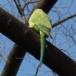 鳥の大群(緑色)が夕方に東京や千葉に来るけど原因や正体は何?
